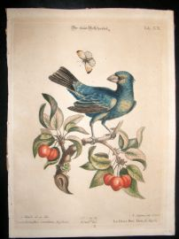 Edwards Seligmann C1760 Folio Hand Col Bird Print. Blue Grosbeak